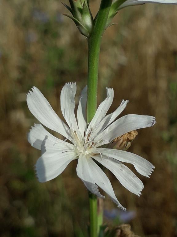 Cichorium intybus - chicorée sauvage, chicorée amère 20190917