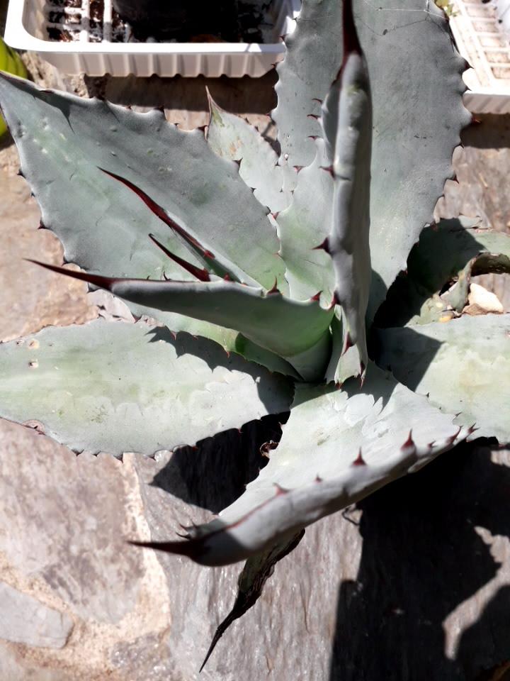 Agave ovatifolia - Page 2 20190984