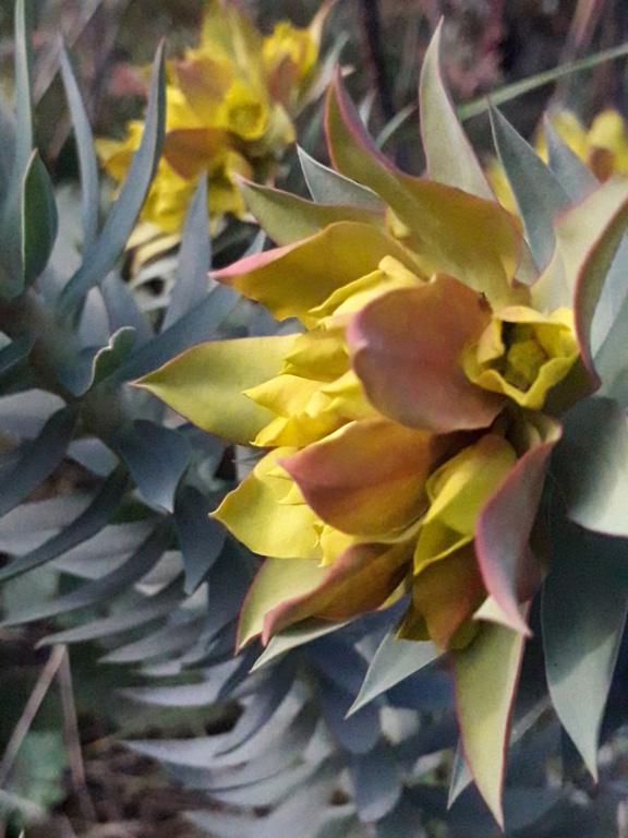 Euphorbia rigida - euphorbe rigide - Page 4 20200139
