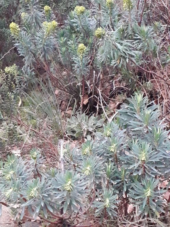 Euphorbia characias - Page 4 20200230