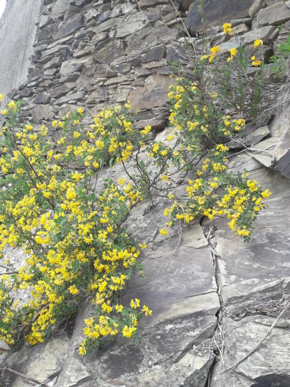 Coronilla glauca (= C. valentina subsp. glauca) - coronille glauque - Page 2 20210444