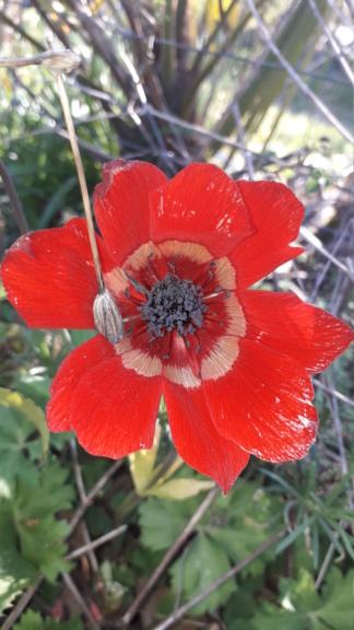Anemone hortensis subsp. pavonina Img-2015