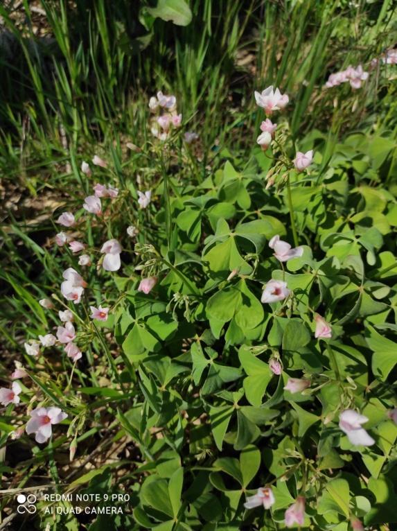 Oxalis articulata vs Oxalis articulata f. crassipes Img_2014