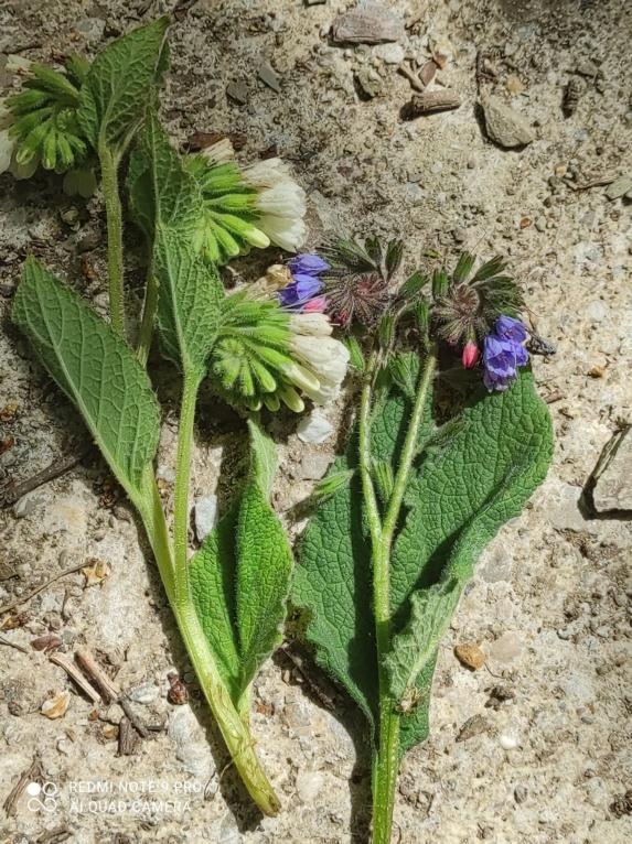 Symphytum orientale et hybrides - consoude orientale - Page 3 Img_2022