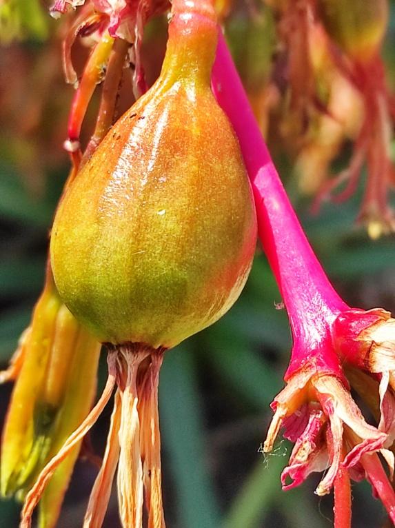Beschorneria calcicola - [identification] Img_2207
