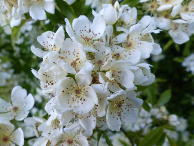 Rosa banksiae var. normalis f. alba P1000011