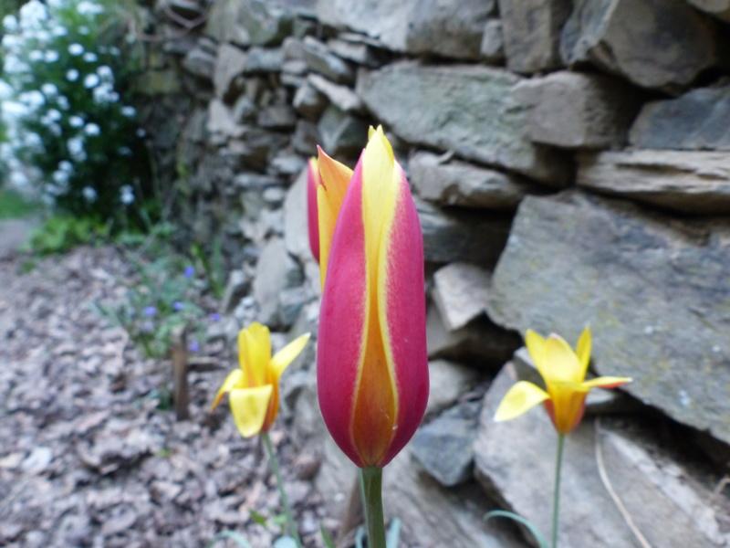 Tulipa clusiana P1000022