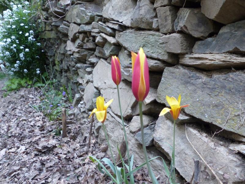 Tulipa clusiana P1000023