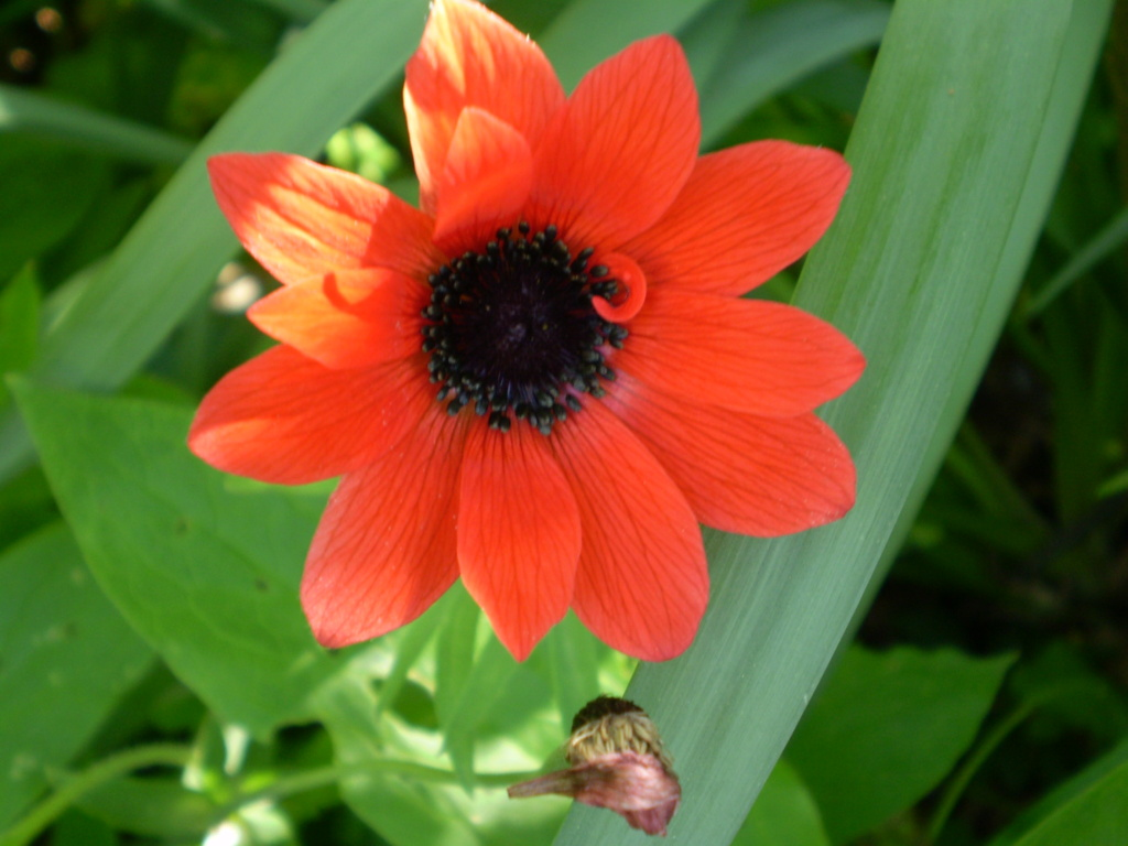 anemone pavonina P4240015