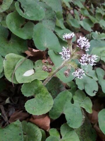 Petasites pyrenaicus (= Petasites fragrans) - héliotrope d'hiver - Page 2 15780910
