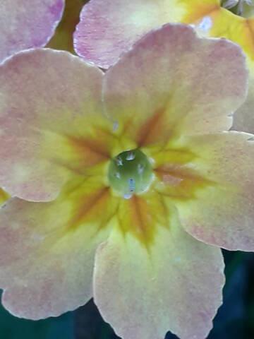Primula veris, Primula elatior et hybrides - primevères 20190155