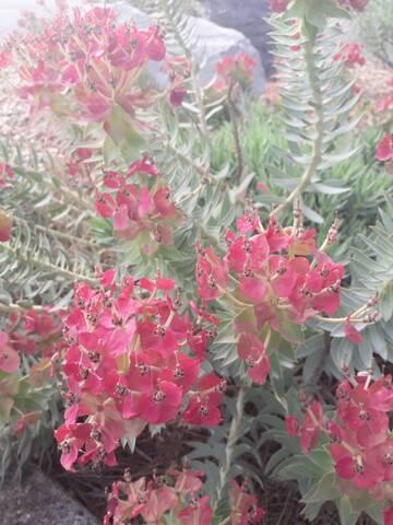 Euphorbia rigida - euphorbe rigide - Page 4 20190716