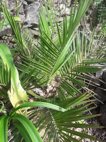 Jubaea chilensis - cocotier du Chili - Page 2 20191083