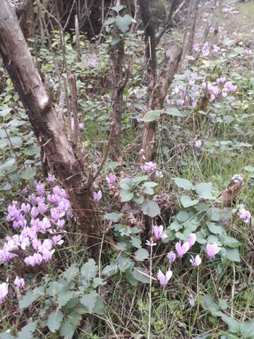 Cyclamen hederifolia = neopolitanum - cyclamen de Naples 20191103