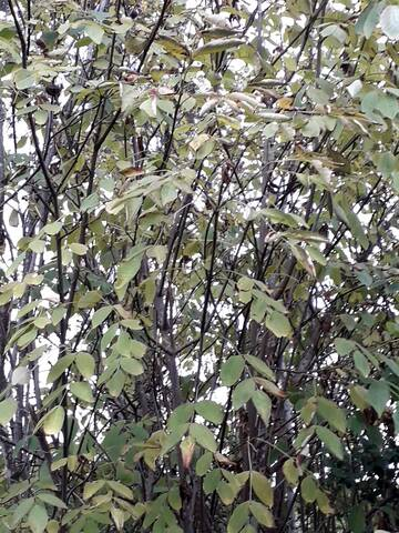 Staphylea sp. [identification en cours] 20191168
