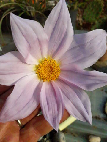 Dahlia imperialis - Page 9 20191243