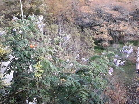 Dahlia imperialis - Page 9 20191260