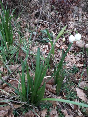 Leucojum vernum - nivéole de printemps 20200116