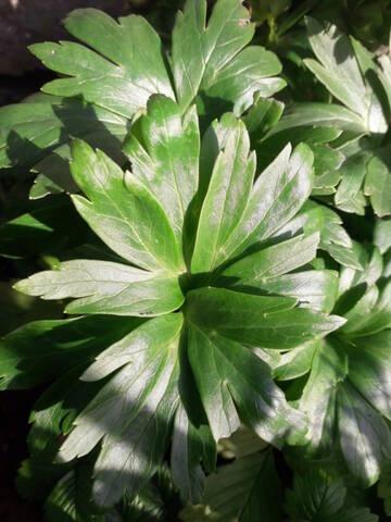 Helleborus vesicarius 20200143