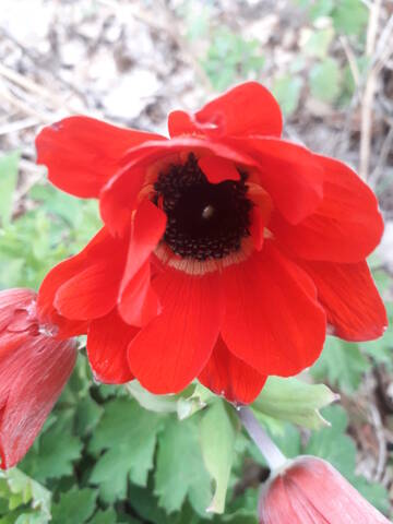 Anemone hortensis subsp. pavonina 20200150