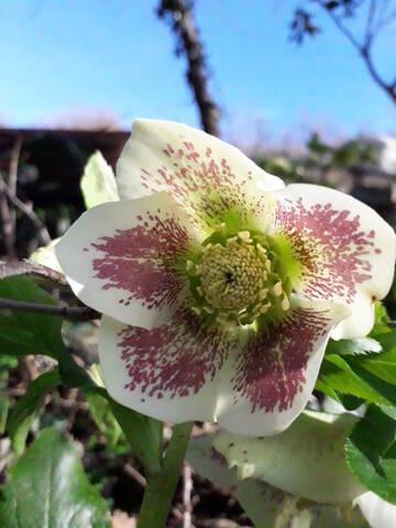 Helleborus orientalis et ses hybrides  20200212