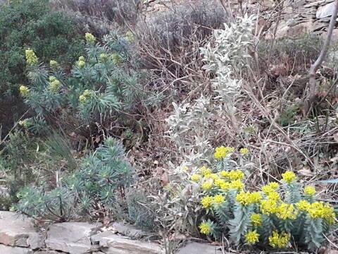 Euphorbia rigida - euphorbe rigide - Page 4 20200228