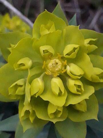 Euphorbia rigida - euphorbe rigide - Page 4 20200231