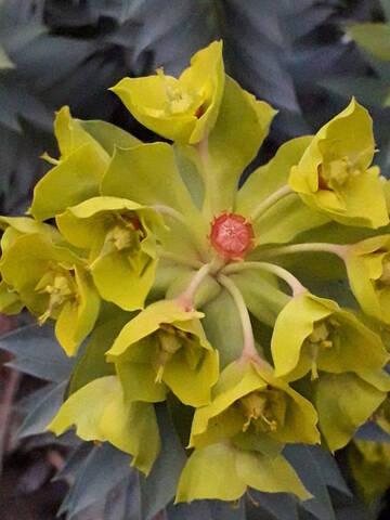 Euphorbia rigida - euphorbe rigide - Page 4 20200232