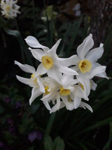 Narcissus - les narcisses - Page 5 20200257