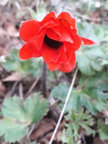 Anemone hortensis subsp. pavonina 20200268