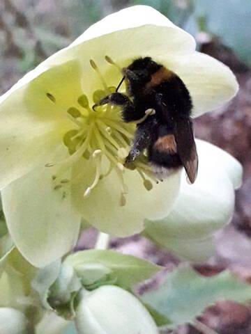 Helleborus orientalis et ses hybrides  20200270