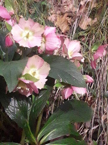 Helleborus orientalis et ses hybrides  20200289