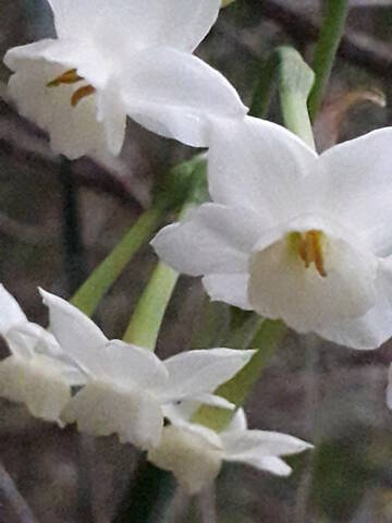 Narcissus - les narcisses - Page 5 20200311