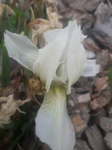 Iris lutescens - iris des garrigues, iris jaunâtre - Page 2 20200316