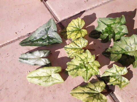 Cyclamen hederifolia = neopolitanum - cyclamen de Naples - Page 2 20200329