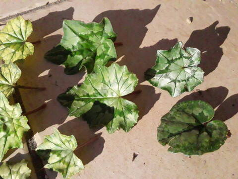 Cyclamen hederifolia = neopolitanum - cyclamen de Naples - Page 2 20200330