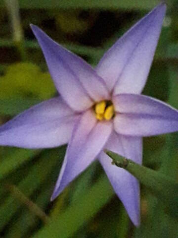 Ipheion uniflorum (= Tristagma uniflorum) - Page 2 20200379
