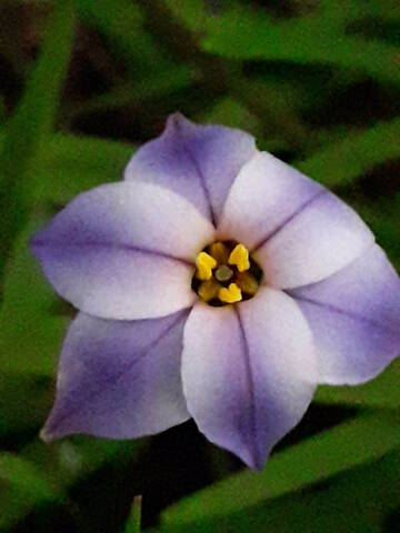 Ipheion uniflorum (= Tristagma uniflorum) - Page 2 20200380