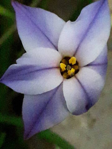 Ipheion uniflorum (= Tristagma uniflorum) - Page 2 20200381