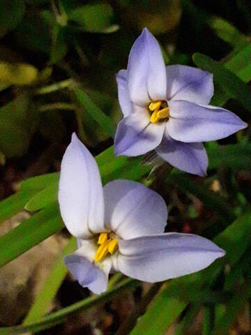 Ipheion uniflorum (= Tristagma uniflorum) - Page 2 20200385