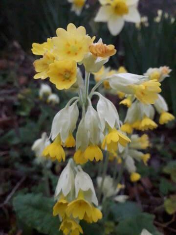 Primula veris, Primula elatior et hybrides - primevères 20200428