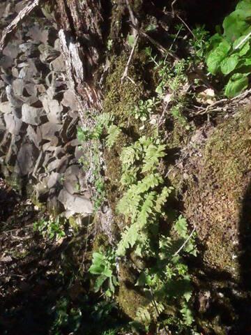 flore des vieux murs, rochers  et rocailles naturelles - Page 8 20200453