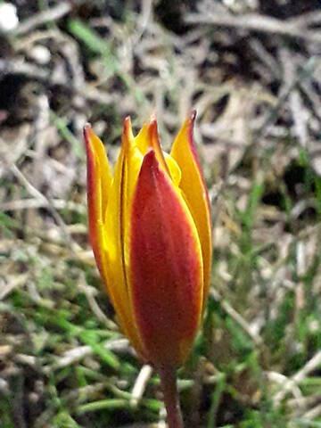 les prémices de la saison - tulipes botaniques 20200529