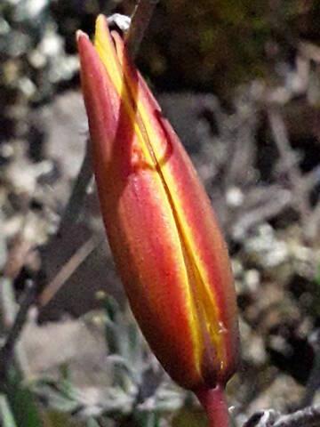 les prémices de la saison - tulipes botaniques 20200530