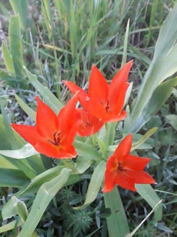 les prémices de la saison - tulipes botaniques 20200536