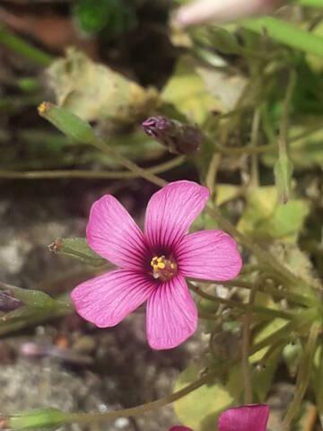 Oxalis articulata vs Oxalis articulata f. crassipes 20200698
