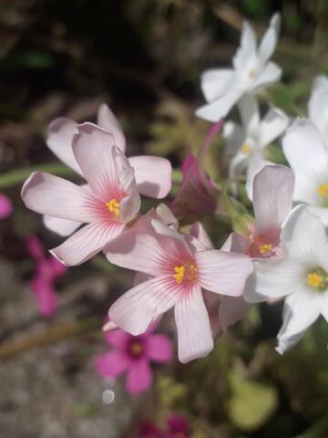 Oxalis articulata vs Oxalis articulata f. crassipes 20200701