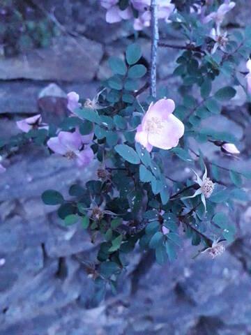 Rosa spinosissima  (= Rosa pimpinellifolia) 20200727