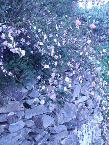 Rosa spinosissima  (= Rosa pimpinellifolia) 20200728