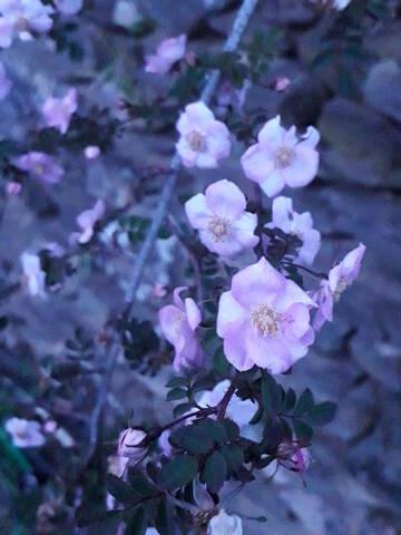 Rosa spinosissima  (= Rosa pimpinellifolia) 20200729